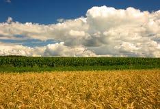 燕麦和玉米的领域在蓝天下 免版税图库摄影