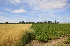 燕麦和甜菜在美丽的夏天天空下 库存图片