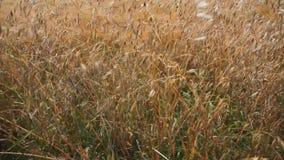 燕麦和麦子的金黄小尖峰 影视素材