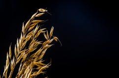 燕麦在麻袋布的谷粒 免版税库存照片