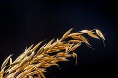 燕麦在麻袋布的谷粒 免版税库存图片