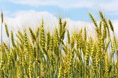 燕麦域 库存图片
