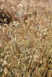 燕麦属领域 免版税库存照片