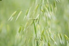 燕麦属绿色领域 燕麦特写镜头 免版税库存图片