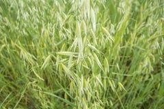 燕麦属绿色领域 免版税图库摄影