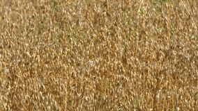 燕麦庄稼领域 影视素材