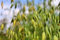 燕麦是绿色的 免版税库存照片