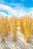 燕麦植物 免版税库存照片