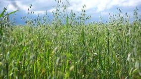 燕麦的一个绿色领域 燕麦的领域 耳朵在暴风云背景的风摇晃  股票录像