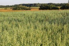 燕麦的域 风景 库存图片