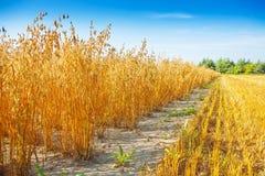 燕麦的域 免版税图库摄影