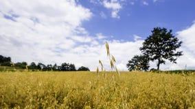 燕麦的域 图库摄影