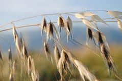 燕麦的小尖峰 图库摄影
