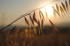 燕麦的小尖峰 库存图片