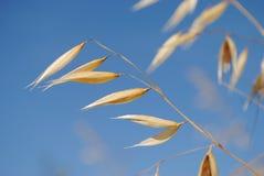 燕麦的小尖峰 免版税库存图片