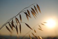 燕麦的小尖峰 库存照片