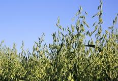 燕麦的美好的夏天领域 小尖峰关闭  图库摄影