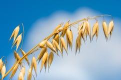 燕麦的金黄耳朵反对蓝天和云彩的 库存照片
