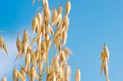 燕麦的金黄耳朵反对蓝天和云彩的 免版税库存图片