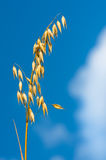 燕麦的金黄耳朵反对蓝天和云彩的 免版税库存照片