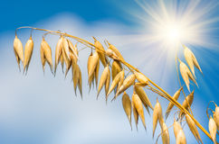 燕麦的金黄耳朵反对蓝天和云彩的 免版税图库摄影