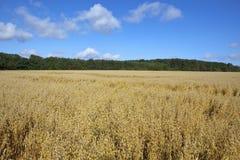 燕麦的领域 图库摄影