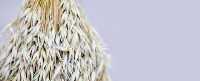 燕麦耳朵茎花束宏观视图照片 浅景深,选择聚焦,拷贝空间 免版税图库摄影