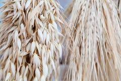 燕麦耳朵茎花束宏观视图照片 浅景深,选择聚焦 免版税库存图片