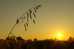 燕麦茎  免版税库存图片