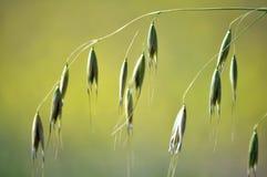 燕麦词根与钉的 免版税库存照片