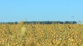 燕麦调遣,粮田,玉米穗燕麦,庄稼季节,成熟燕麦,五谷燕麦,农村收割机组合庄稼农场 股票视频