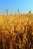 燕麦领域 免版税图库摄影
