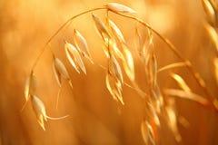 燕麦领域 图库摄影