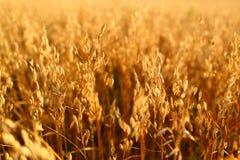 燕麦领域 免版税库存照片