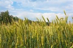 燕麦领域 库存图片