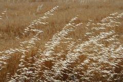 燕麦 免版税库存图片
