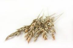 燕麦 免版税图库摄影