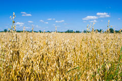 燕麦 库存图片