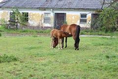 从爆破的谷仓和母马和驹吮牛奶 库存照片