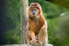 爪哇叶猴(Trachypithecus auratus) 库存照片