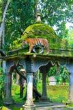 爪哇老虎在Jambatan Buaya 库存图片