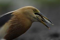 爪哇苍鹭燕子它的牺牲者 免版税库存图片