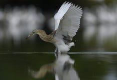 爪哇苍鹭的普通的天 库存照片