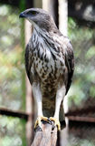 爪哇鹰 免版税图库摄影