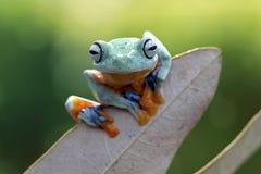 爪哇滑动的雨蛙 库存照片