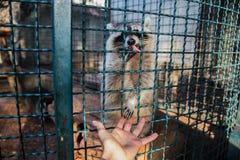 给爪子的浣熊摄影师在动物园 库存照片