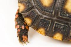 爪子草龟 免版税库存图片