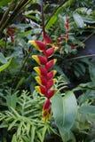 爪花heliconia热带龙虾的rostrata 免版税图库摄影