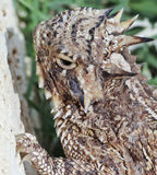 爪顶头有角的蜥蜴s得克萨斯 图库摄影