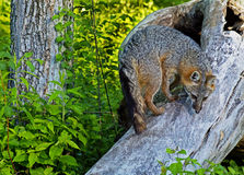 爬一棵下落的小室树的灰狐狸 免版税图库摄影